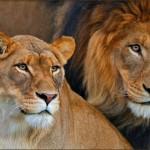 San Diego Safari Park - Lions