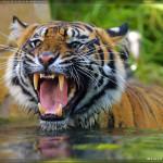 San Diego Safari Park Tiger